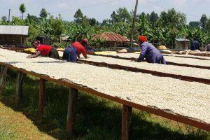 Gichathaini-coffee-farm
